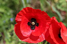 Field_poppy_-_Papaver_rhoeas_(12190335083).jpg